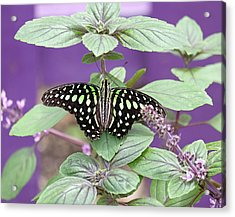 Tailed Jay Butterfly In Puple Acrylic Print