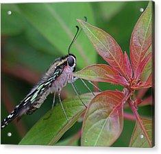 Tailed Jay Butterfly Macro Shot Acrylic Print