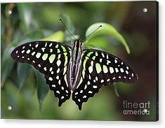Tailed Jay Acrylic Print