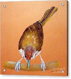 Tailor Bird Acrylic Print by Jasna Dragun