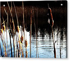 Tails Of Silver And Gold Acrylic Print by Toni Jackson