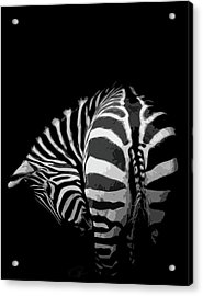 Take A Bow Acrylic Print by Paul Neville