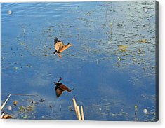 Take-off Flight Of The The Virginia Rail Acrylic Print by Asbed Iskedjian