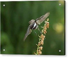 Chickadee In Flight Acrylic Print by Marilyn Wilson
