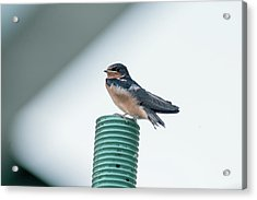 Taking A Break From Flying Around At High Speeds Acrylic Print by Dan Friend
