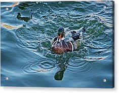 Taking A Dip, Wood Duck Acrylic Print