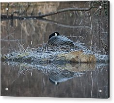 Taking A Rest Acrylic Print