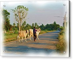 Taking Brahma Home Acrylic Print