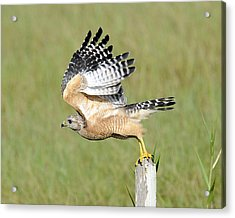 Taking Flight Acrylic Print by Keith Lovejoy