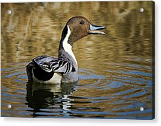 Talking Pintail Acrylic Print