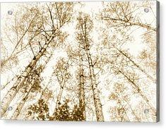 Acrylic Print featuring the photograph Tall Aspens by Elena Elisseeva