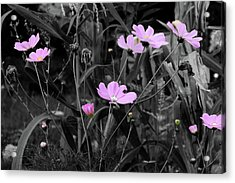 Tall Pink Poppies Acrylic Print