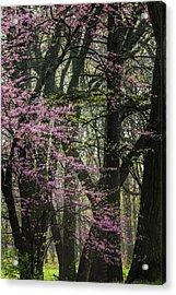Tall Red Buds In Spring Acrylic Print by Joni Eskridge