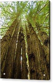 Tall Trees Acrylic Print