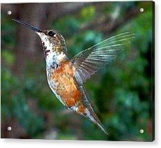 Tan Hummingbird Acrylic Print by Joseph Frank Baraba