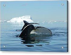 Tandem Humpback Whale Flukes Acrylic Print