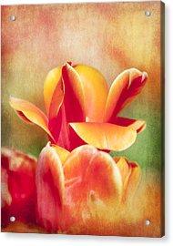 Tangerine Tulip Sorbet Acrylic Print