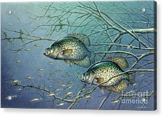 Tangled Cover Crappie II Acrylic Print by Jon Q Wright