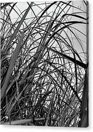 Acrylic Print featuring the photograph Tangled Grass by Susan Capuano