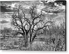Tangled Old Tree On Platte River Acrylic Print