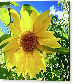 Tangled Sunflower Acrylic Print