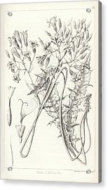 Acrylic Print featuring the drawing Taper Tip Hawksbeard, Crepis Acuminate by Antoine Sonrel
