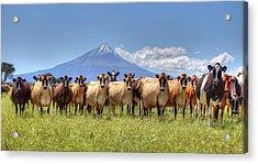 Taranaki Cows Acrylic Print