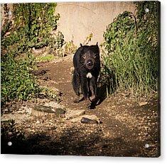 Tasmanian Devil - Canberra - Australia Acrylic Print