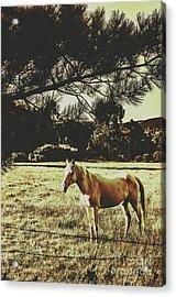 Tasmanian Rural Farm Horse Acrylic Print