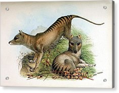 Tasmanian Tiger, Extinct Species Acrylic Print