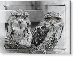 Tawney Frogmouths Acrylic Print
