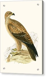 Tawny Eagle Acrylic Print by English School