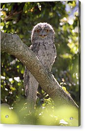Tawny Frogmouth Acrylic Print by Barry Culling