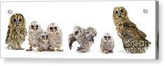 Tawny Owl Family Acrylic Print