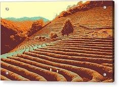 Tea Field Acrylic Print