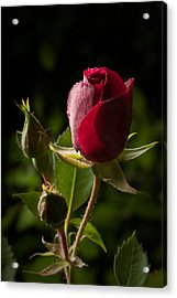 Tea Rose Bud Acrylic Print