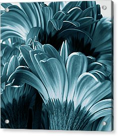 Teal Gerberas Acrylic Print by Tony Grider