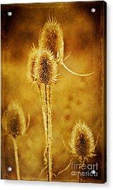 Teasel Group Acrylic Print by John Edwards