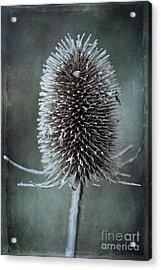 Teasel Acrylic Print by John Edwards