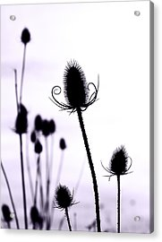 Teasels In A French Field  I Acrylic Print by Gareth Davies
