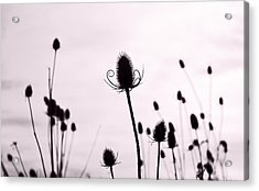 Teasels In A French Field  II Acrylic Print by Gareth Davies