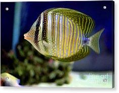 Technicolor Fish Acrylic Print by Madeline Ellis