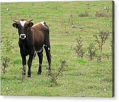 Teen Cow Acrylic Print by Elizabeth Fontaine-Barr