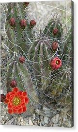 Terlingua Desert Blooms Acrylic Print by Clyde Replogle