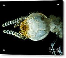 Termite Head, Lm Acrylic Print by Rub�n Duro/BioMEDIA ASSOCIATES LLC