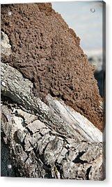Termite Nest Acrylic Print by Steve Madore