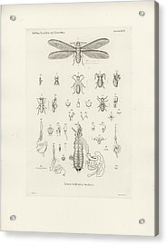 Acrylic Print featuring the drawing Termites, Macrotermes Bellicosus by H Hagen