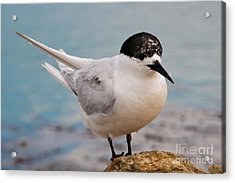 Acrylic Print featuring the photograph Tern 1 by Werner Padarin