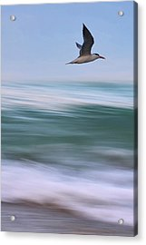 Acrylic Print featuring the photograph Tern Flight Vert by Laura Fasulo