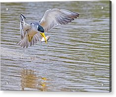Acrylic Print featuring the photograph Tern by Wade Aiken